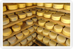 Cheeses of Various Ages Maturing In a Cheese Cave
